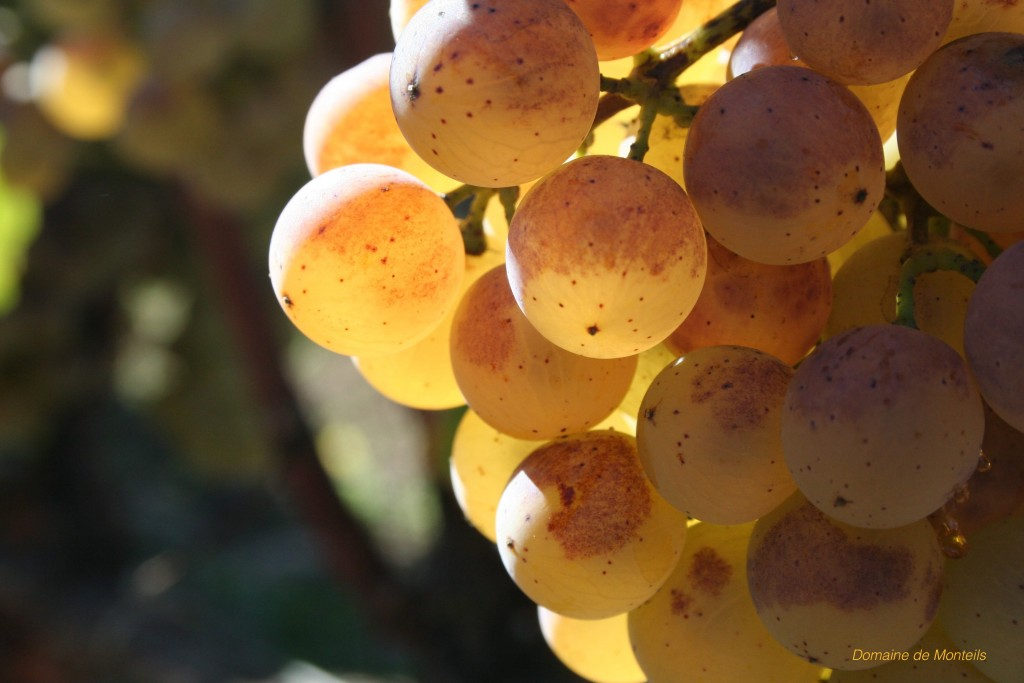 grappe-raisin-semillon-sauternes