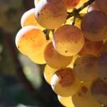 grappe-raisin-semillon-sauternes